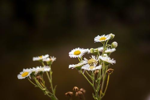 Fotobanka sbezplatnými fotkami na tému kvet, príroda, sedmokráska