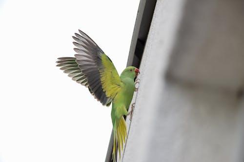 Бесплатное стоковое фото с halsbandsittich, housewall, papagei, vogel