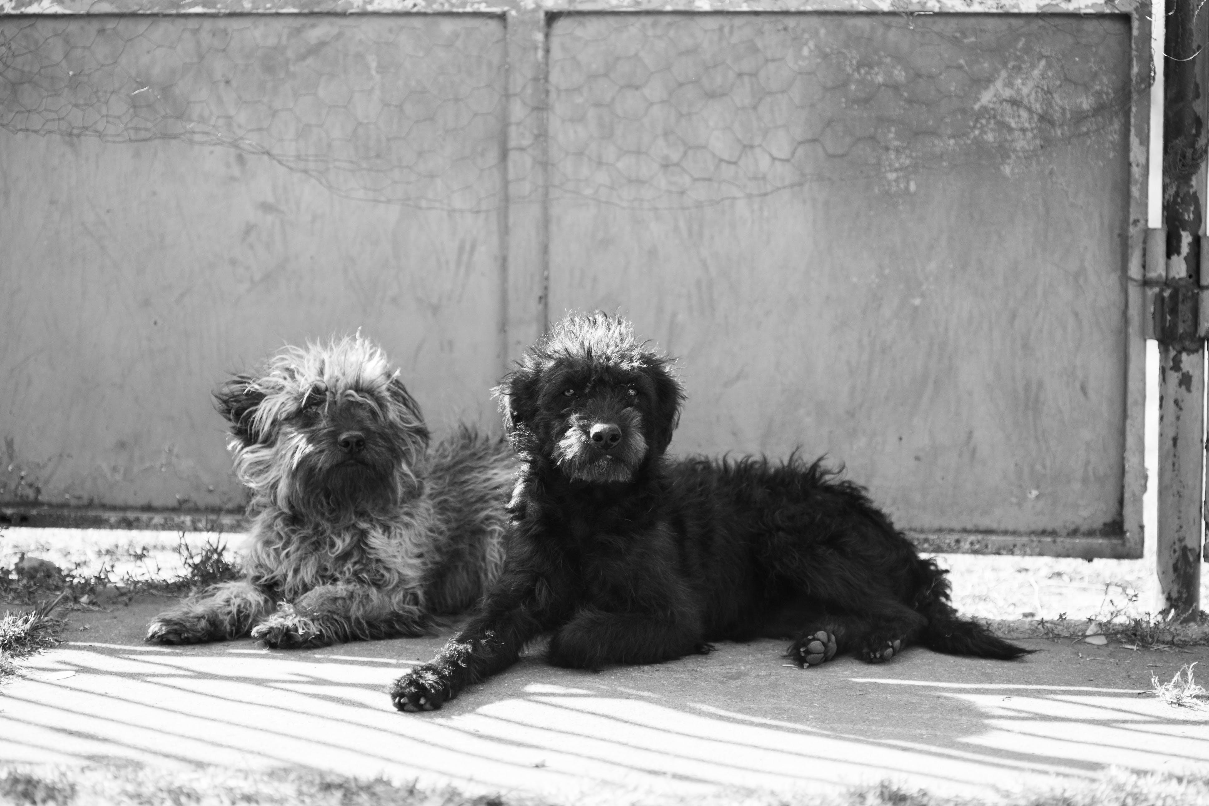 Foto profissional grátis de amante dos animais, animal, cachorro preto, cachorros