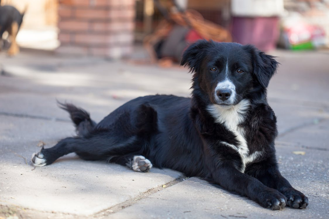 border collie, hund, streunende tier
