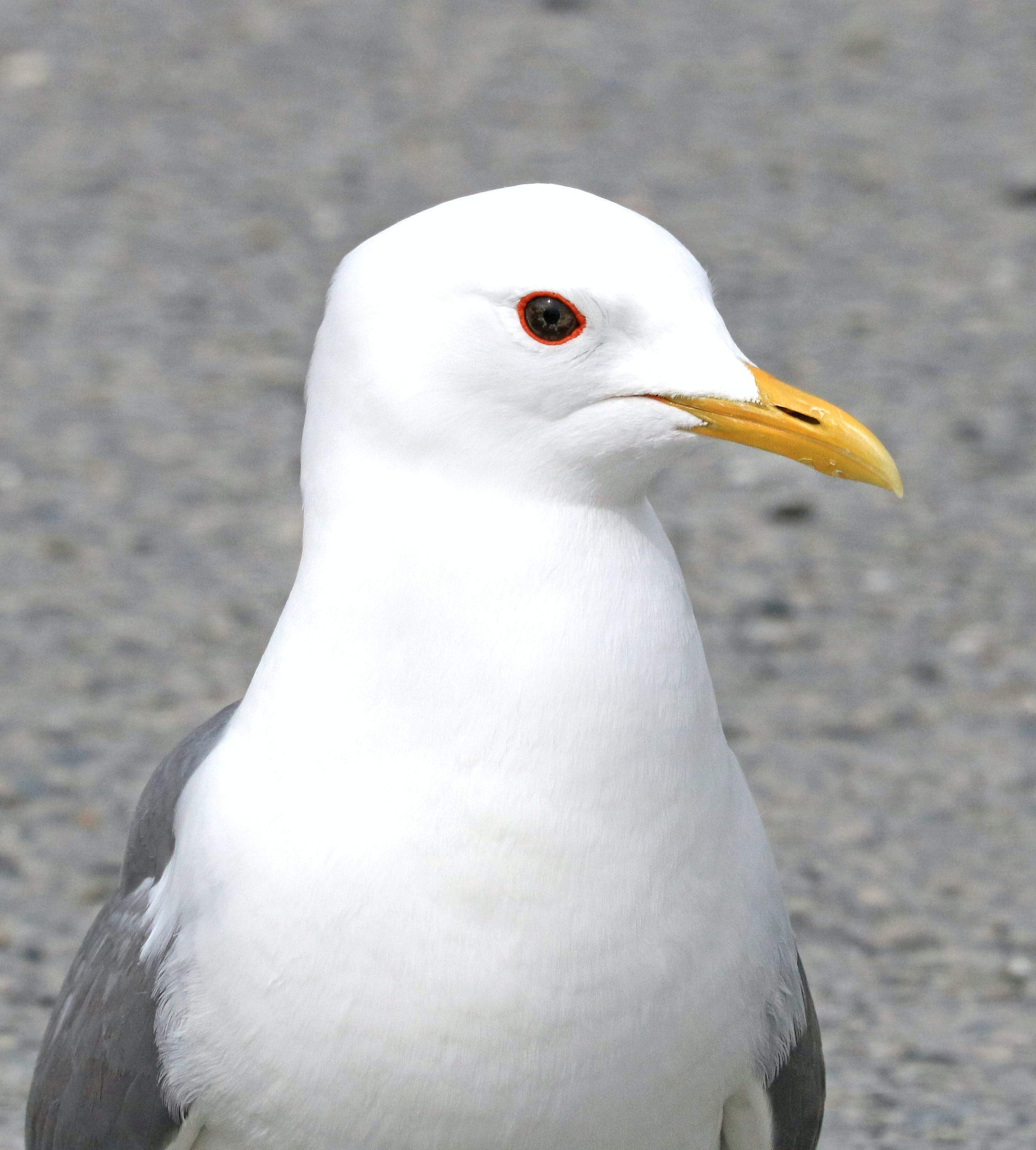 Closeup Photography of White and Grey Seagull