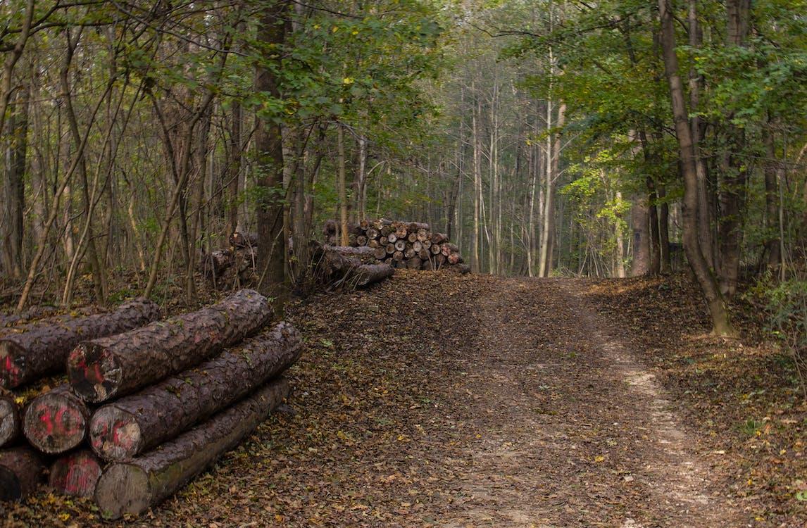 arbres, bûches de bois, chemin en forêt