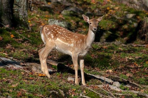 Photos gratuites de animal, canada, cerf, créature