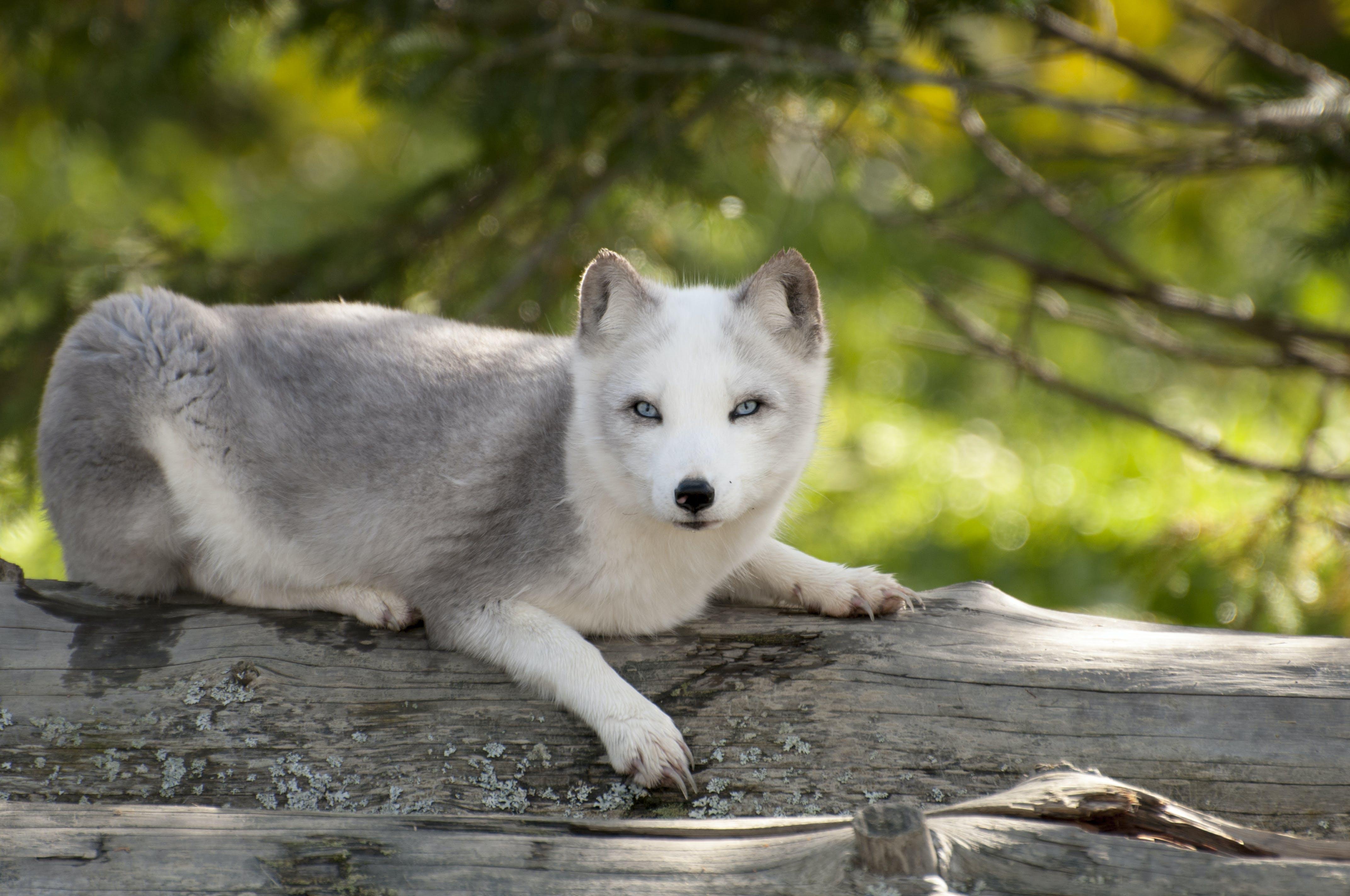 Free stock photo of Artic Fox, fox, fur, nature