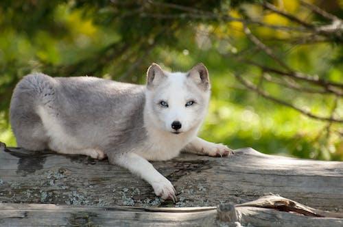 Photos gratuites de blanc, étendue sauvage, fourrure, nature