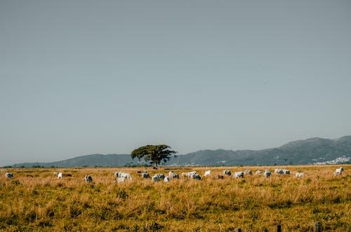 Δωρεάν στοκ φωτογραφιών με αγελάδες, αγέλη, αγρόκτημα, βουνά