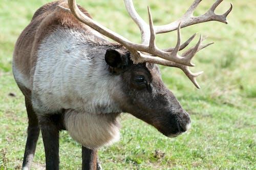 Photos gratuites de caribou, cerf, faune, fourrure