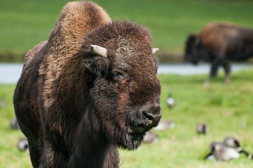 Photos gratuites de animal, bison, créature, fourrure