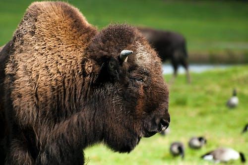 Photos gratuites de animal, bison, créature, étendue sauvage