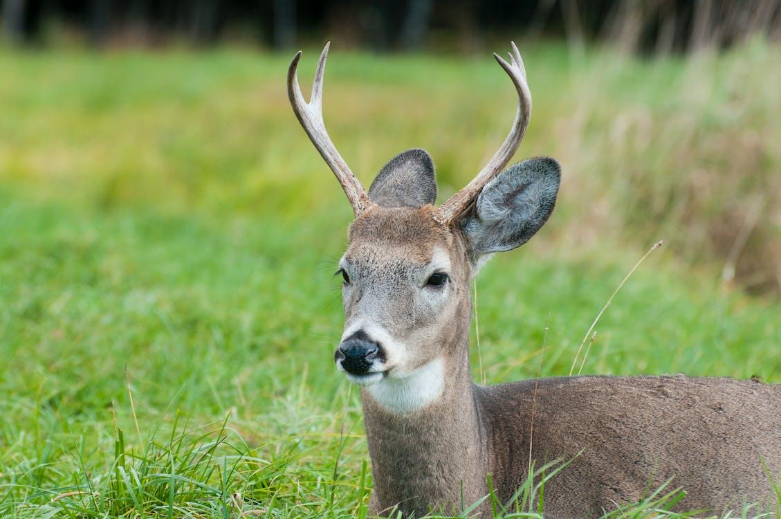 dyr, gevirer, hvid hale hjorte
