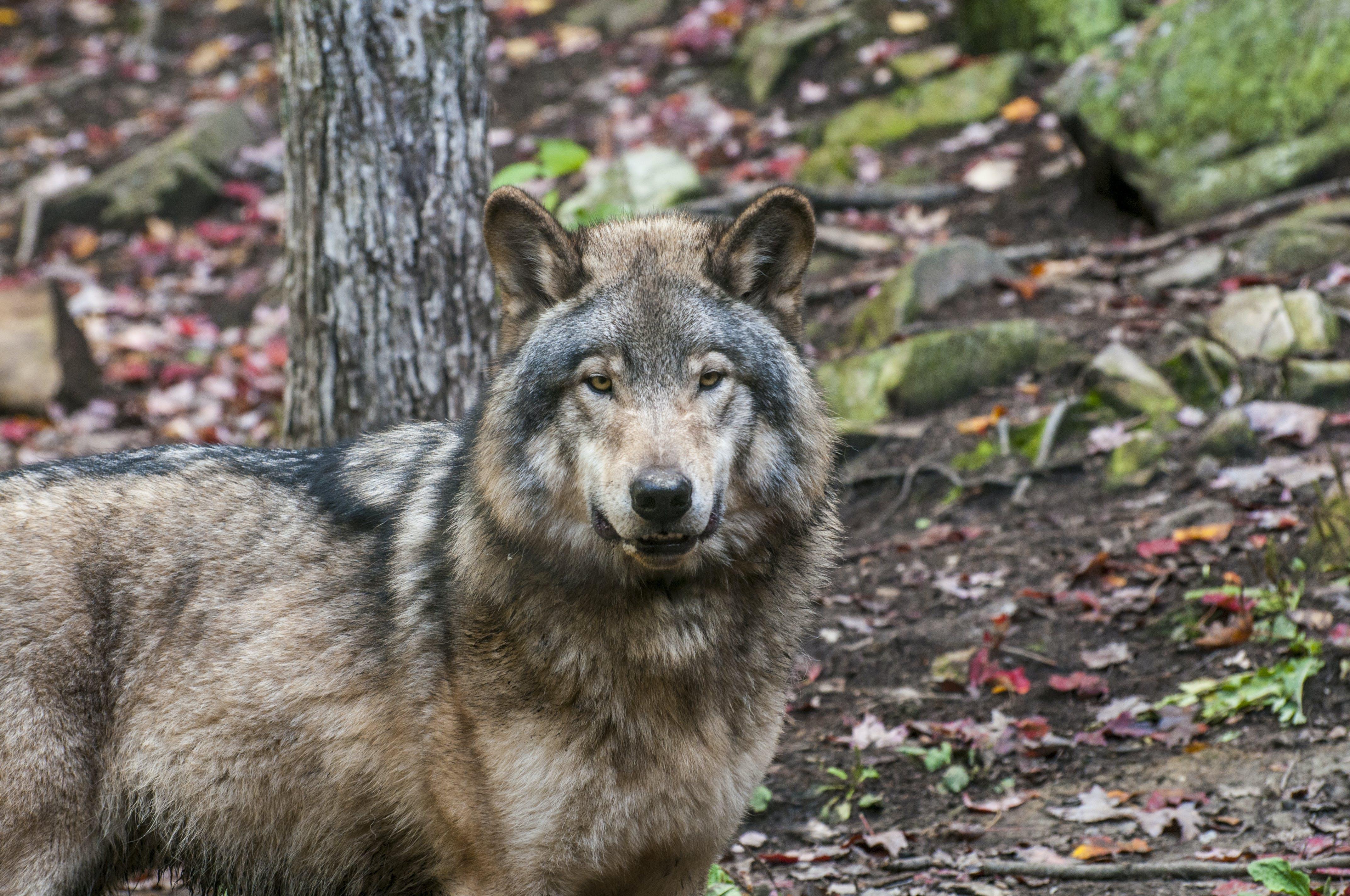 Free stock photo of canine, fur, nature, predator