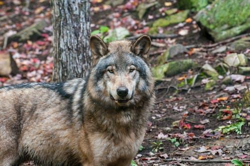 Photos gratuites de canin, faune, fourrure, loup