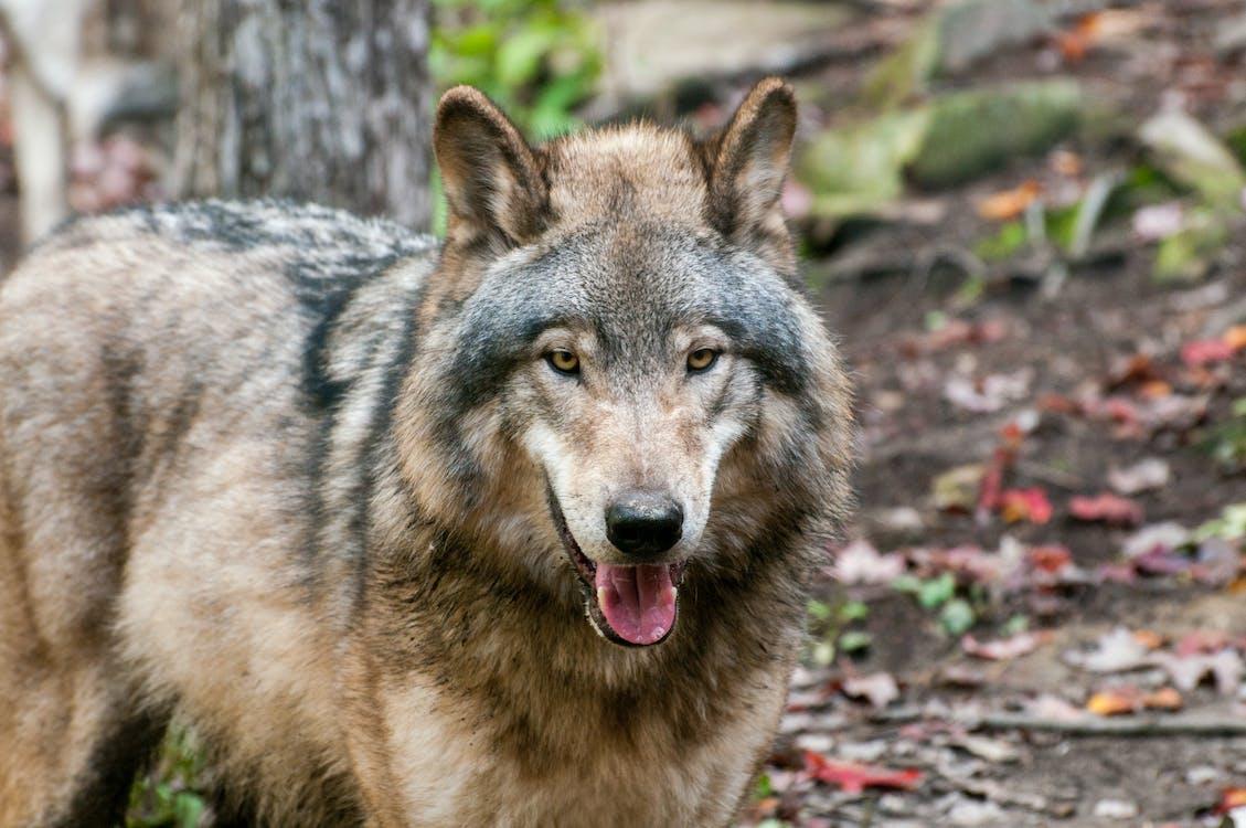 動物, 大灰狼, 天性