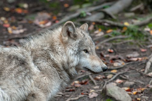 Photos gratuites de animal, canin, étendue sauvage, loup