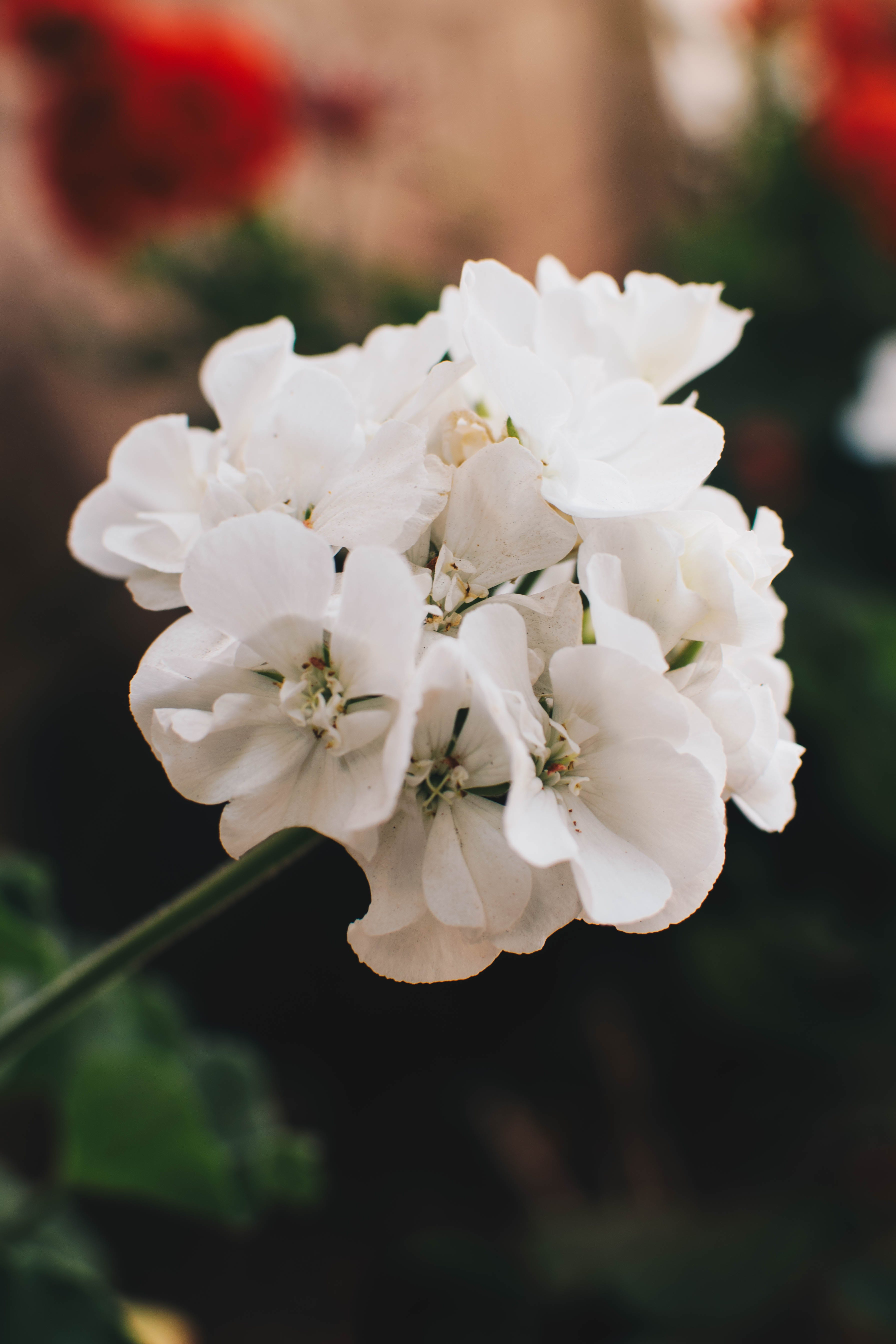 Close-up Photo Of White Geranium Flowers