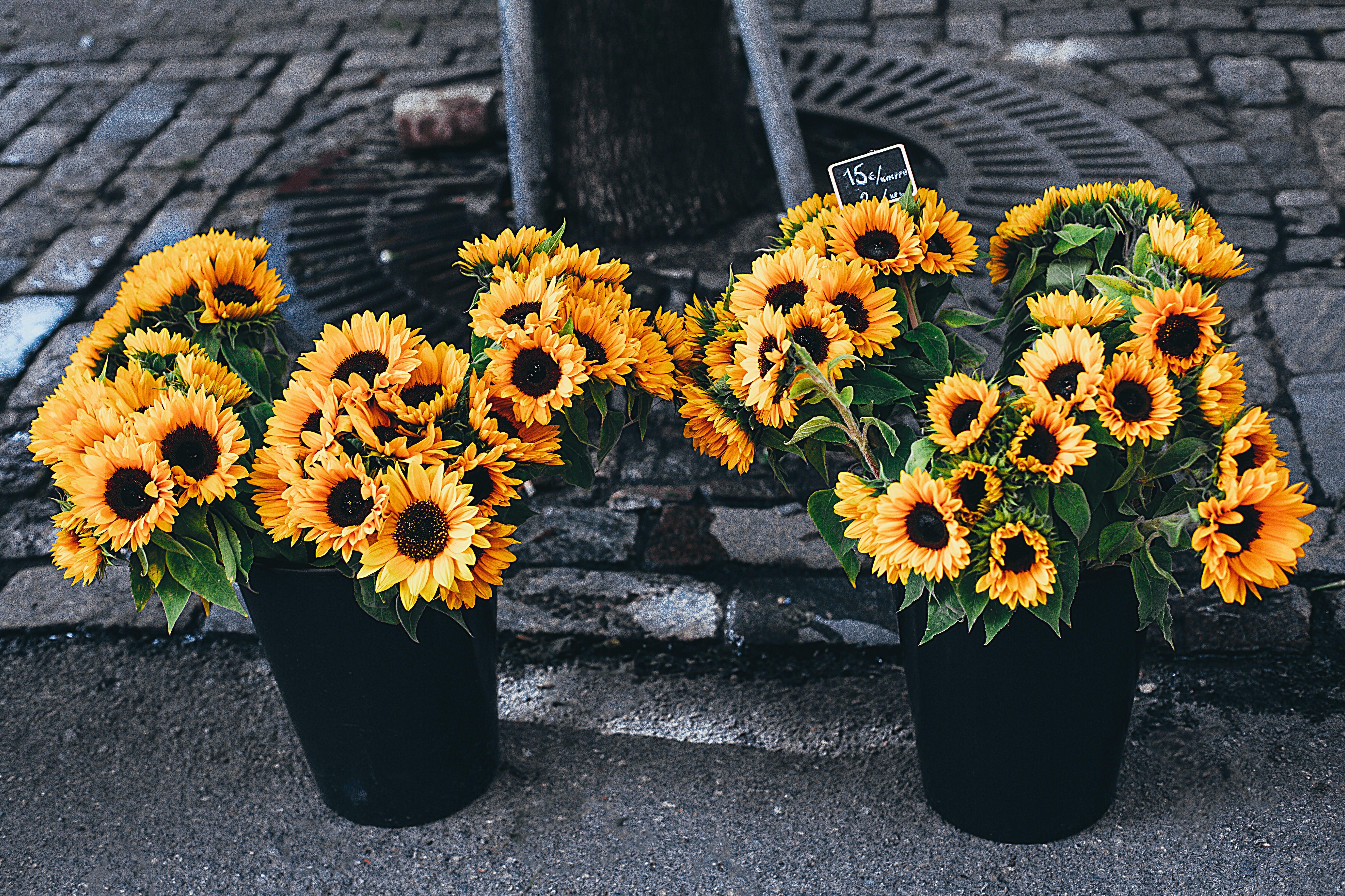 Sunflowers in Pot Beside Road