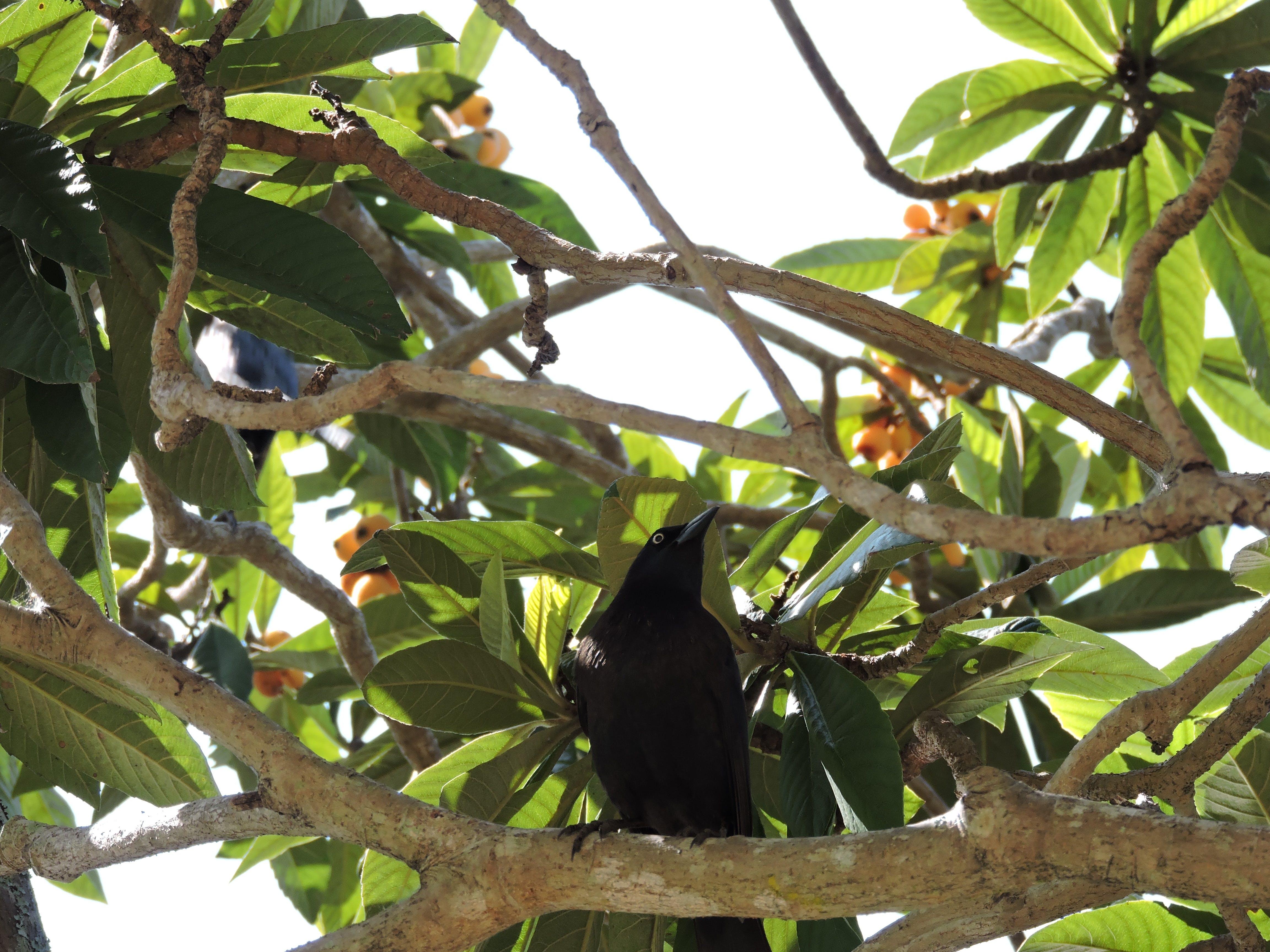 Free stock photo of bird, fruit tree, tropical
