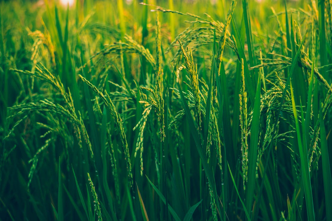 Selective Focus Photography Of Rice Field