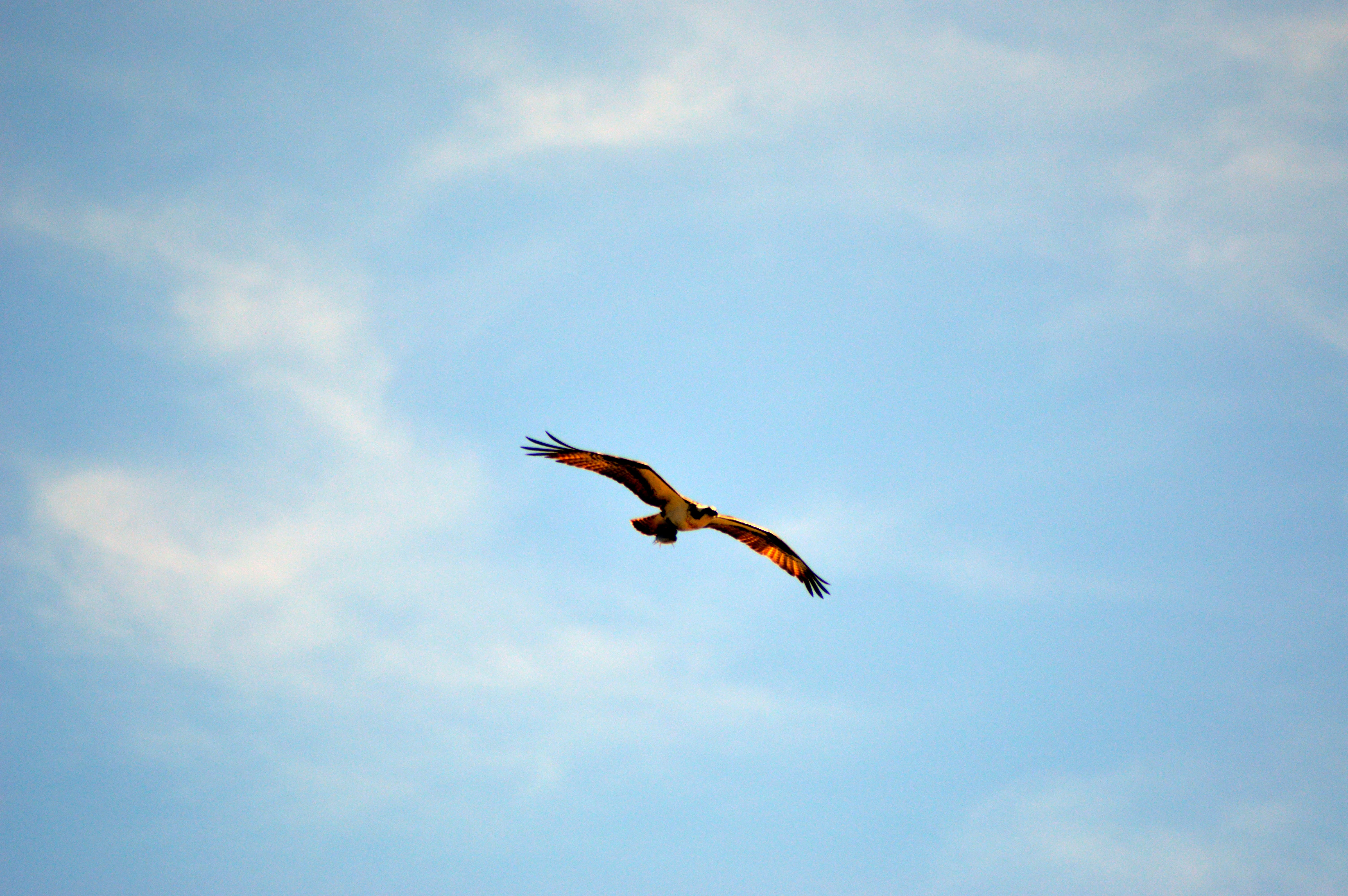 Free stock photo of bird, clouds, eagle, feathers