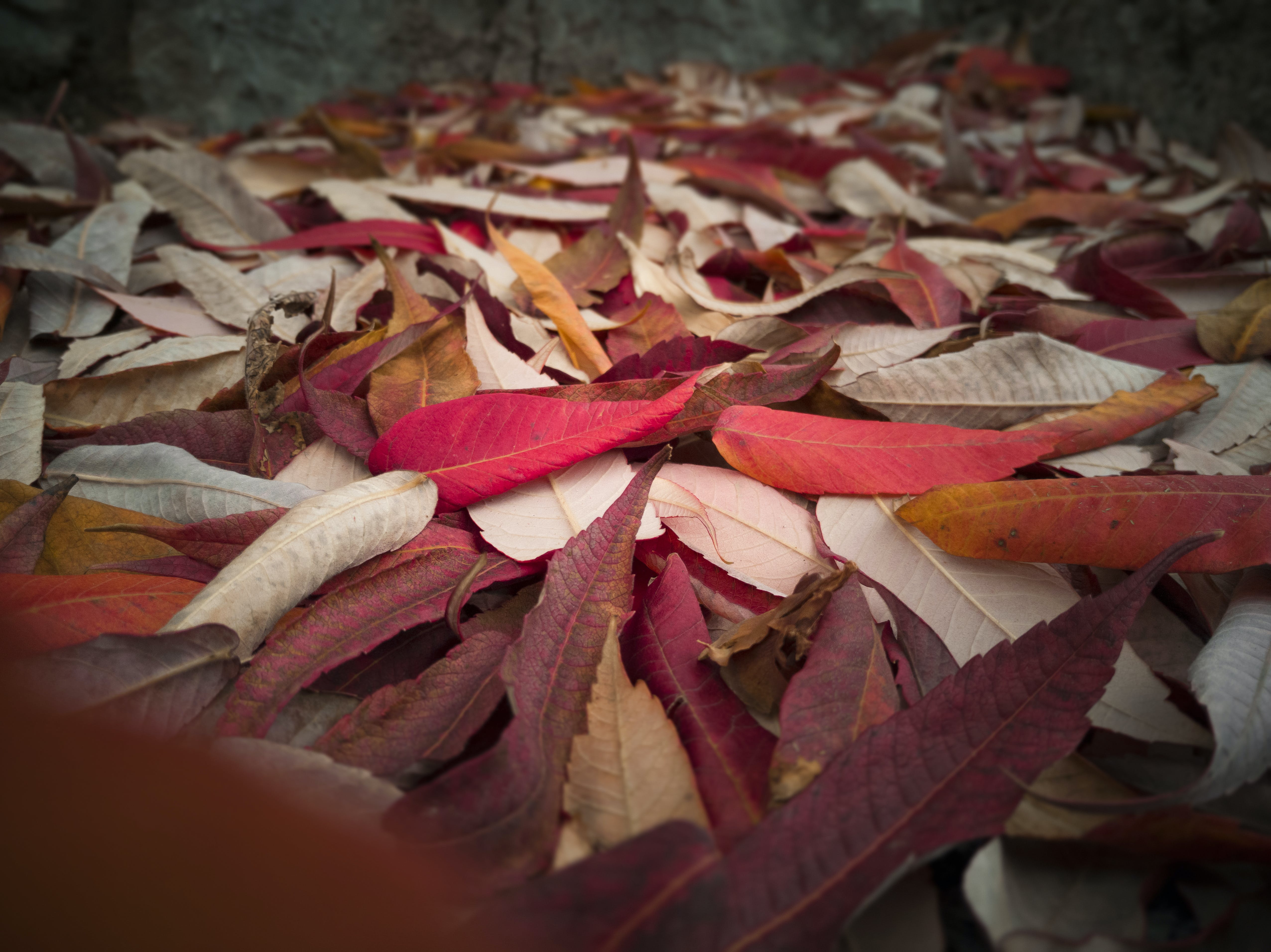 Free stock photo of fall colors, fall leaves, fallen leaves, mood