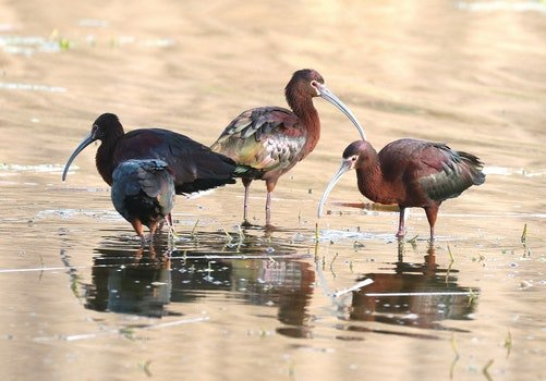3 Brown and Black Long Beak Bird Eating on Body of Water during Daytime