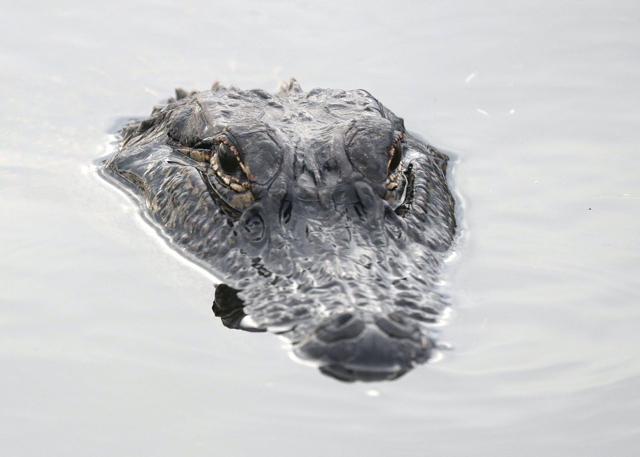 Kostenloses Stock Foto zu alligator, augen, baden, fokus