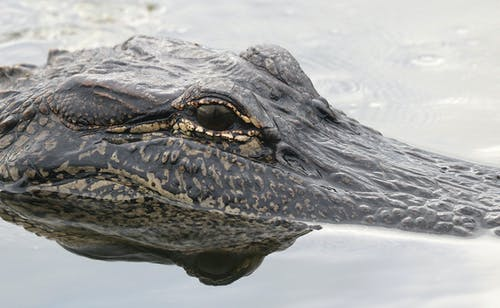 Black and Gray Alligator on Body of Water