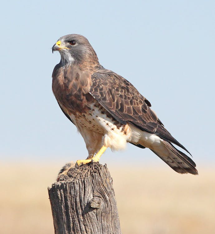 aviaire, chasseur, faucon