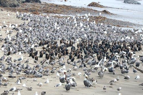 Kostnadsfri bild av fågelflock, fiskmåsar, hav, havsstrand