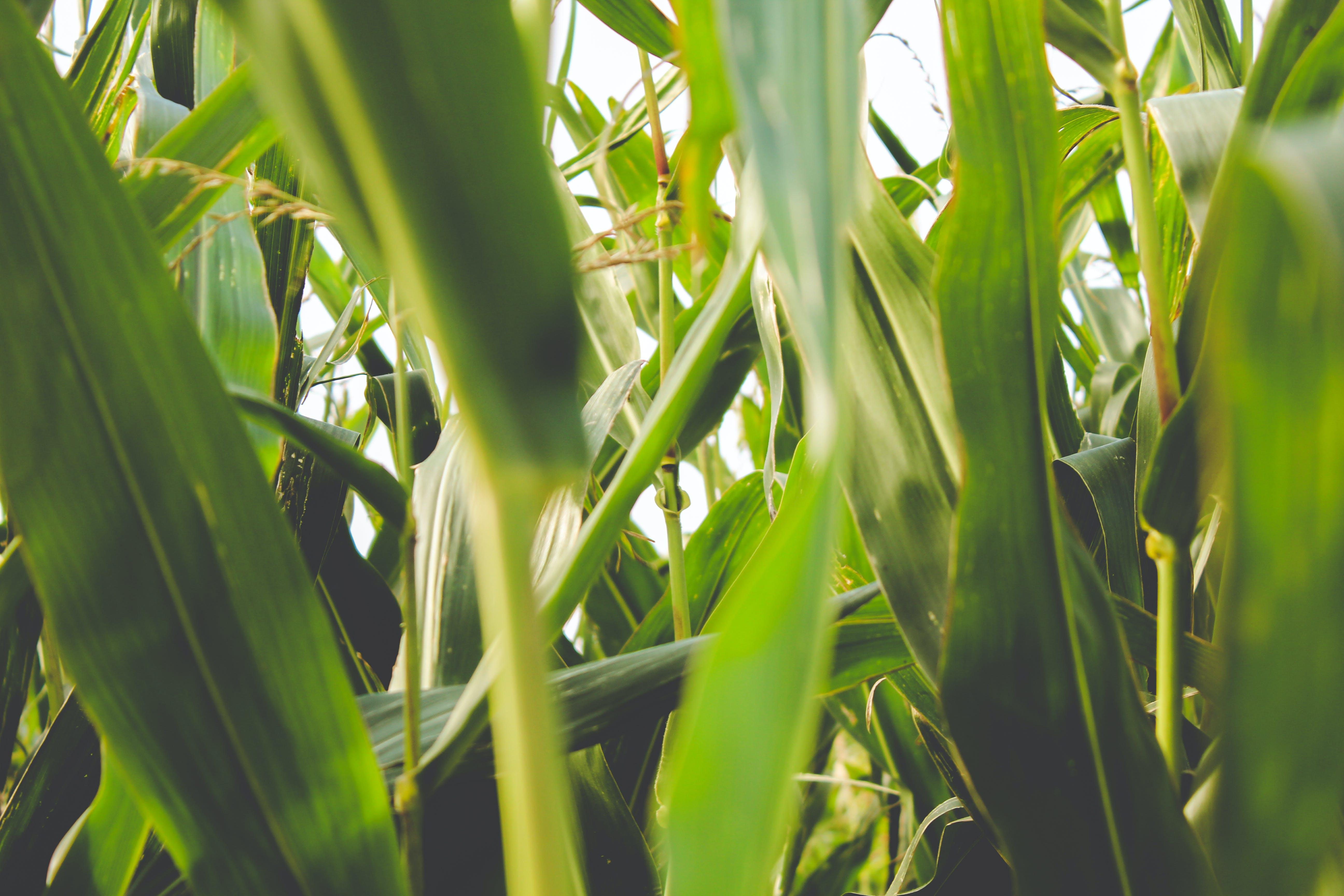 grün, maisfeld, natur