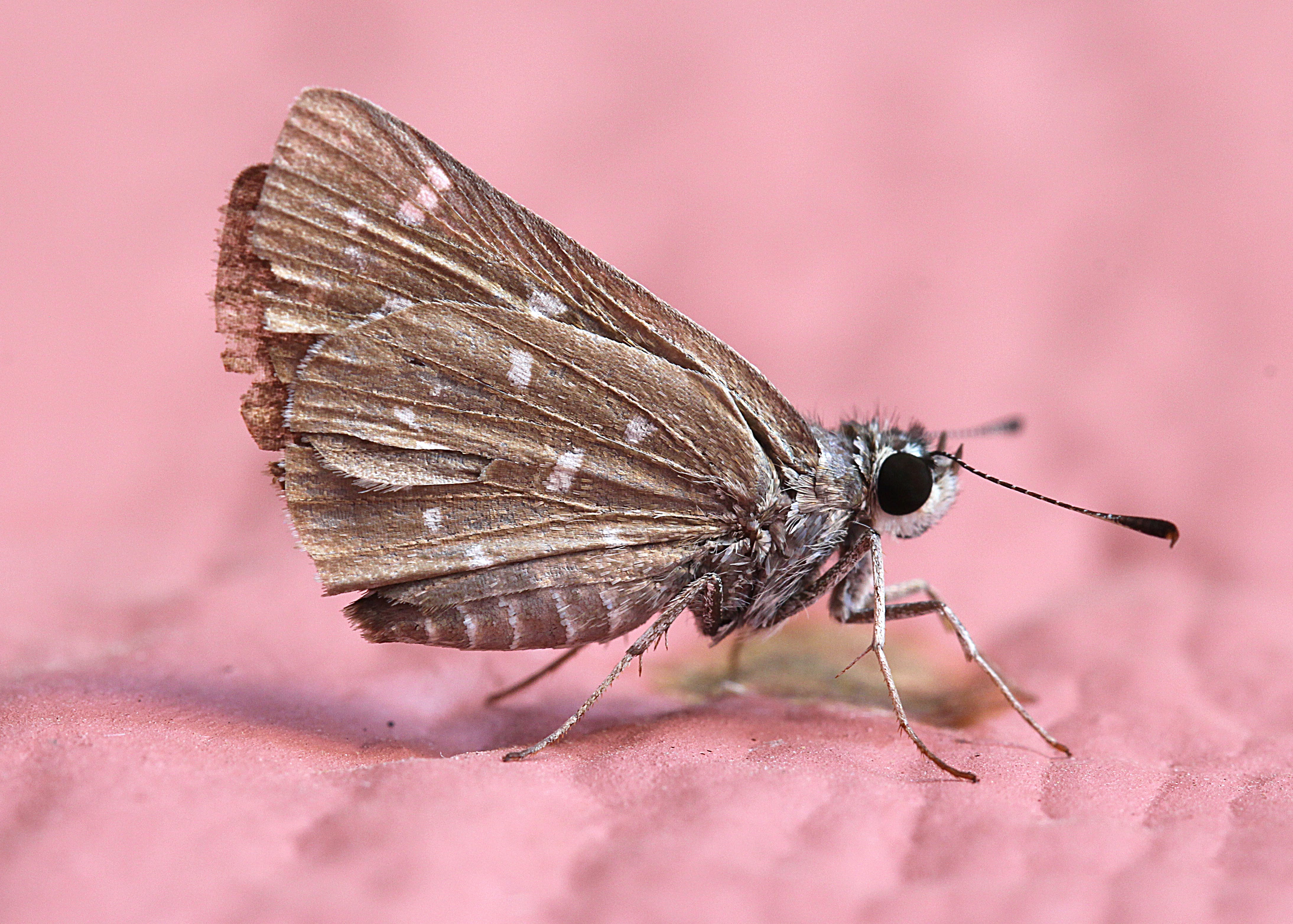 Kostnadsfri bild av fjäril, insekt, liten, närbild