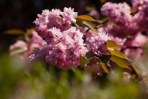 Foto d'estoc gratuïta de arbre, casar-se, flor, magenta