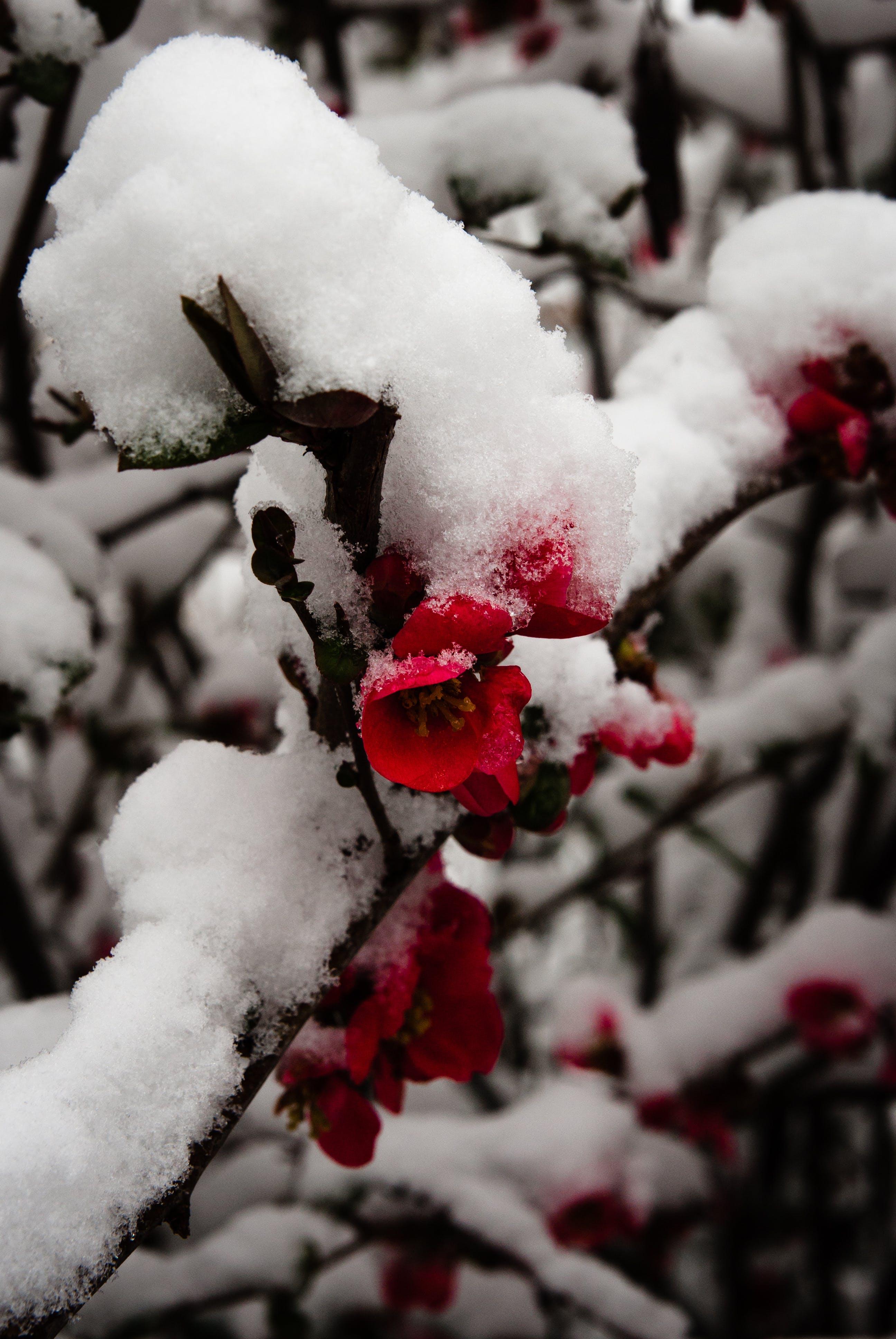 Foto d'estoc gratuïta de flor, fosc, hivern, neu
