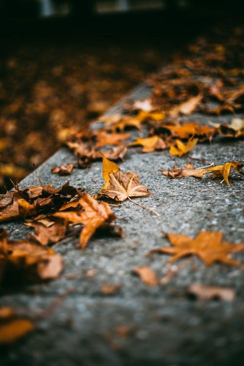 jasny, kolory, liście klonu