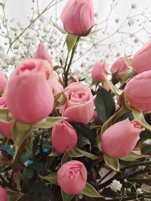 Immagine gratuita di colorato, fiori, foglie, minirosas