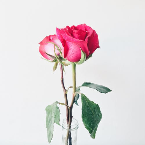Photo of Pink Roses in Vase