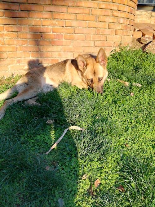 Fotobanka sbezplatnými fotkami na tému #dog, domáce zvieratá, nemecký ovčiak, psi
