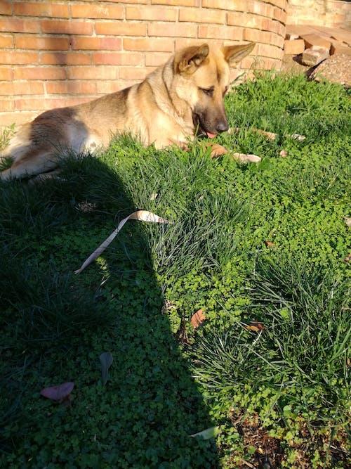 Darmowe zdjęcie z galerii z #pies, fotografia zwierzęcia, owczarek niemiecki, psy