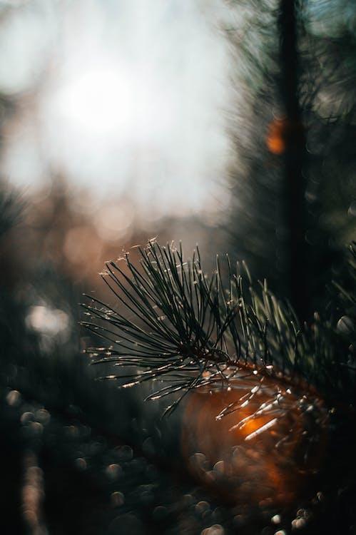 bulanıklık, çam, çam ağaçları