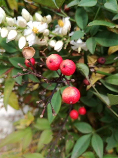 フラワーズ, フルーツ, ベリー, 咲くの無料の写真素材