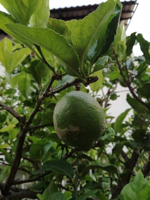 フルーツ, ライム, 緑, 自然の無料の写真素材