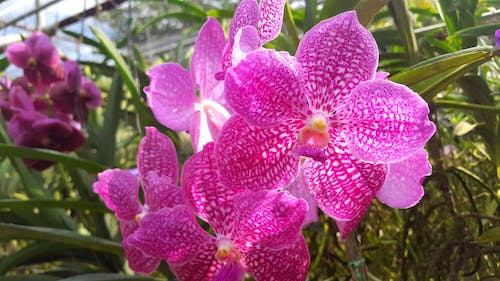 Free stock photo of farm, fresh flowers, orchid, thailand