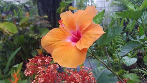 Free stock photo of flower, Hibiscus, orange