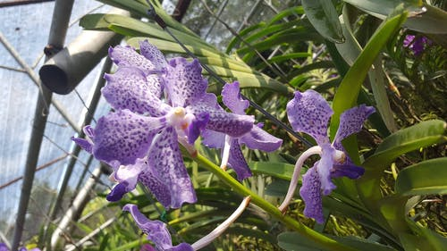 Free stock photo of farm, flower, fresh flowers, lilac orchid