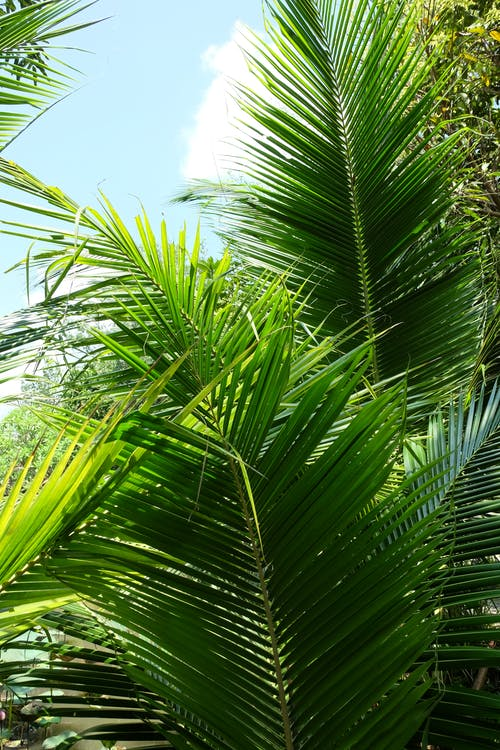 Free stock photo of green, nature, palm leaves, palm tree