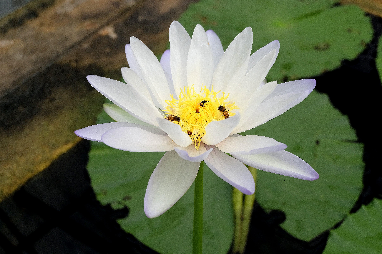 Free stock photo of flower, lotus, puddle, white