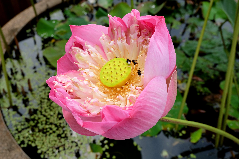 Free stock photo of flower, lotus, nature, pink