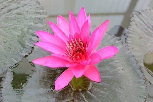 Ilmainen kuvapankkikuva tunnisteilla kukka, lätäkkö, lootus