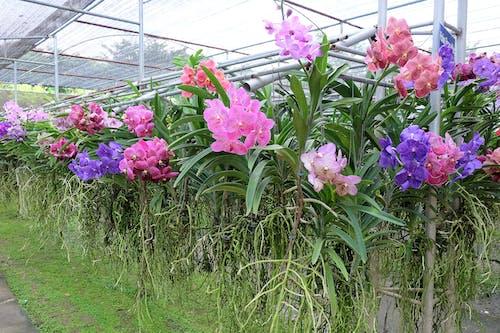Základová fotografie zdarma na téma farma, květiny, orchidej, orchideje