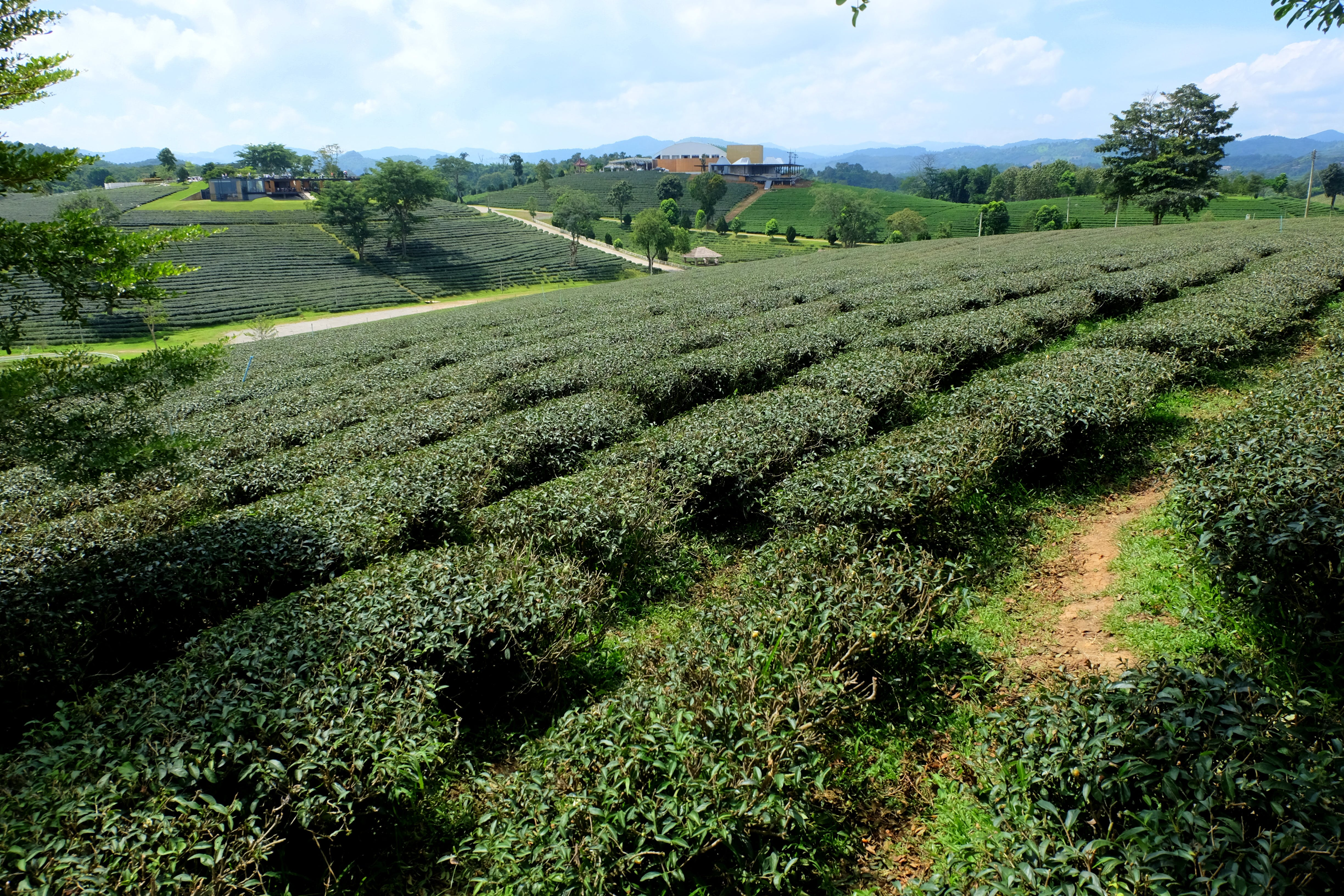 Free stock photo of green, plantation, tea, thailand